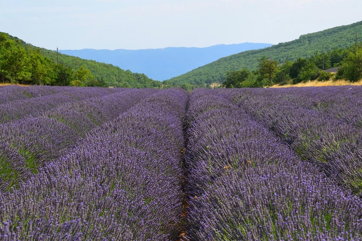 Provence champs de lavande et colorado proven al moi cam l on - Floraison de la lavande ...