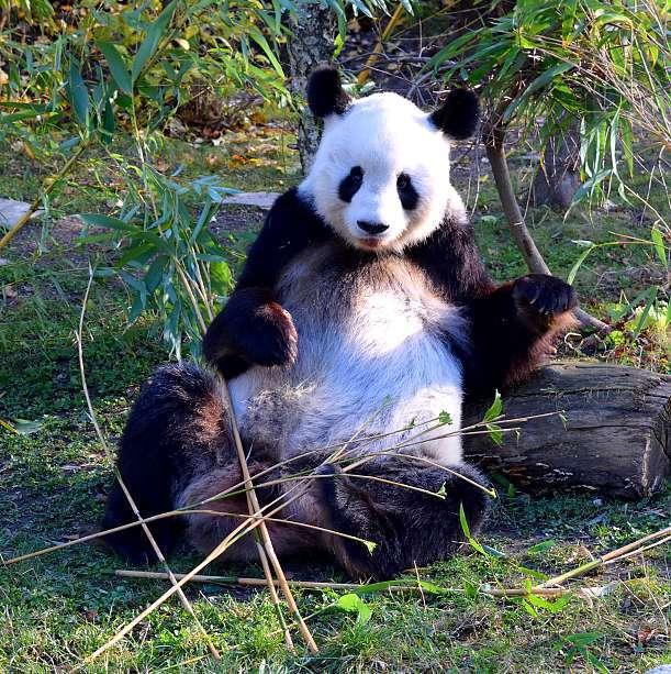 Panda zoo de Vienne
