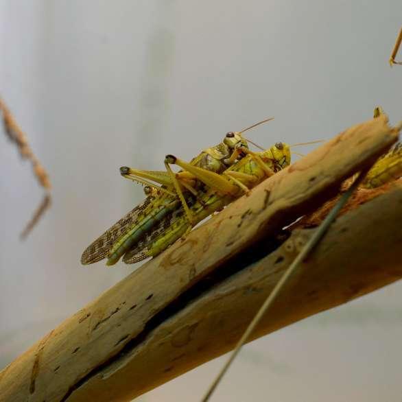 Reproduction sauterelle