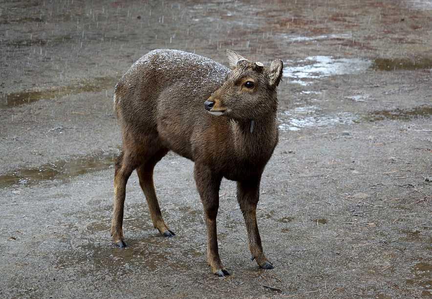 Cerf Nara Japon