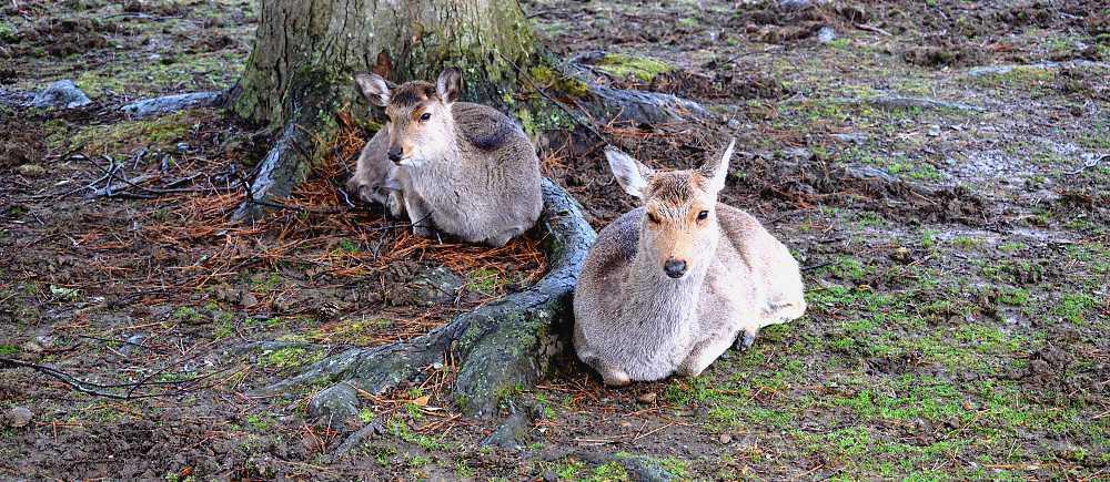 Visiter le parc de Nara
