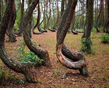 forêt tordue