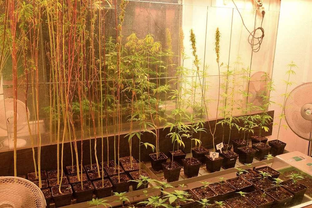 plant cannabis