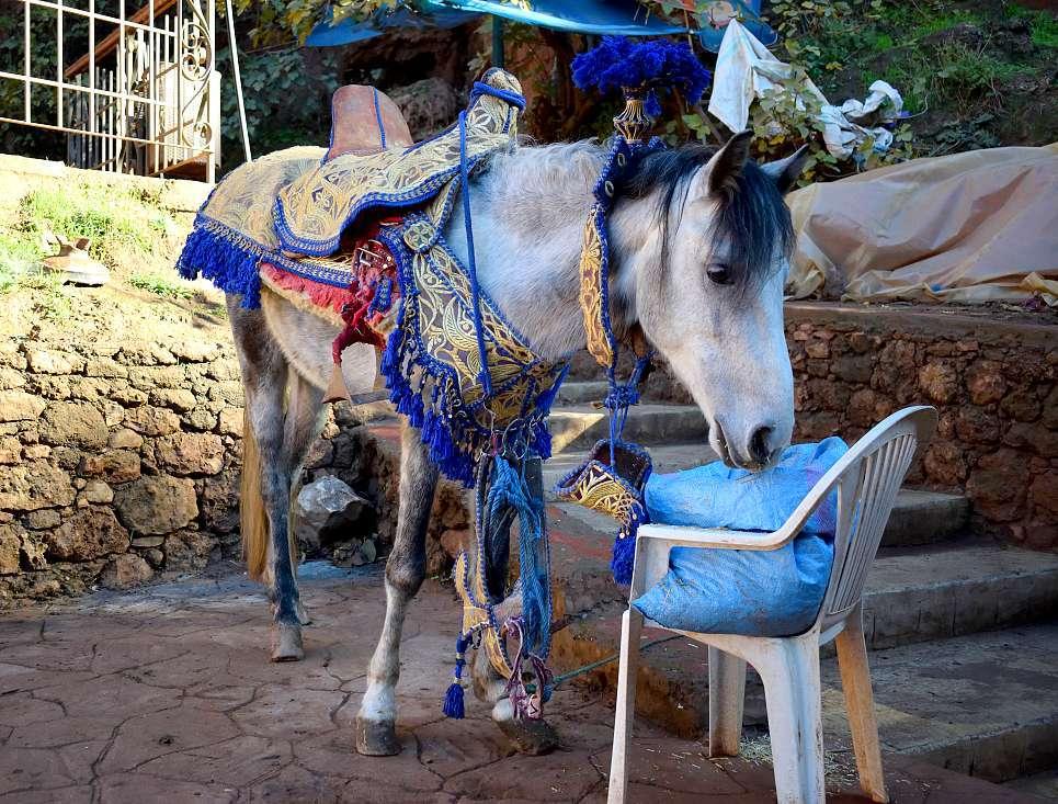 Cheval marocain