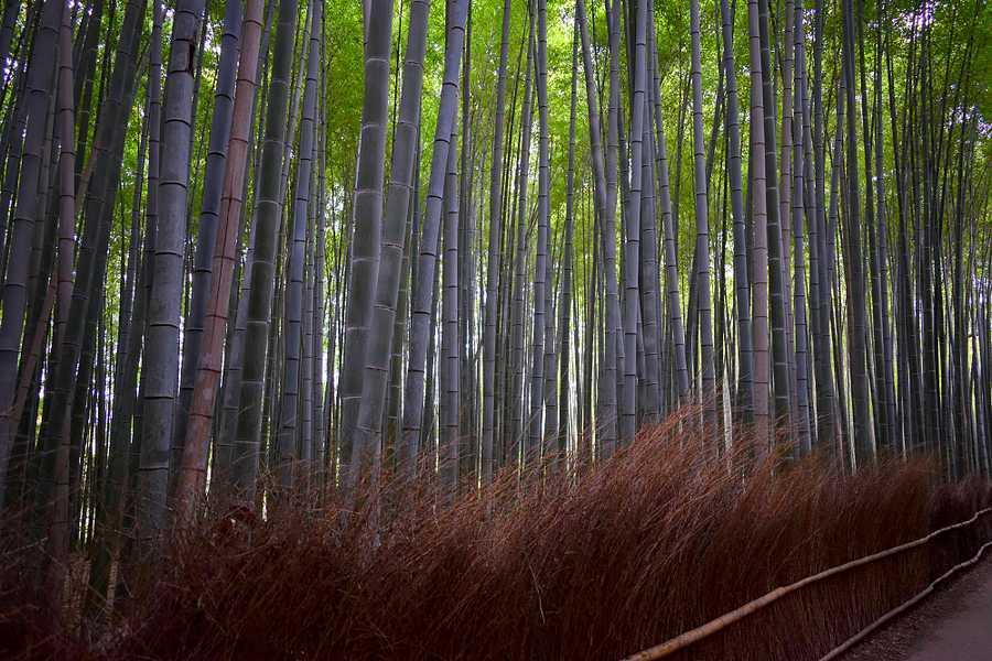 La bambouseraie de Kyoto
