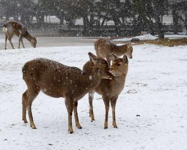 Cerfs Nara au Japon en Hiver