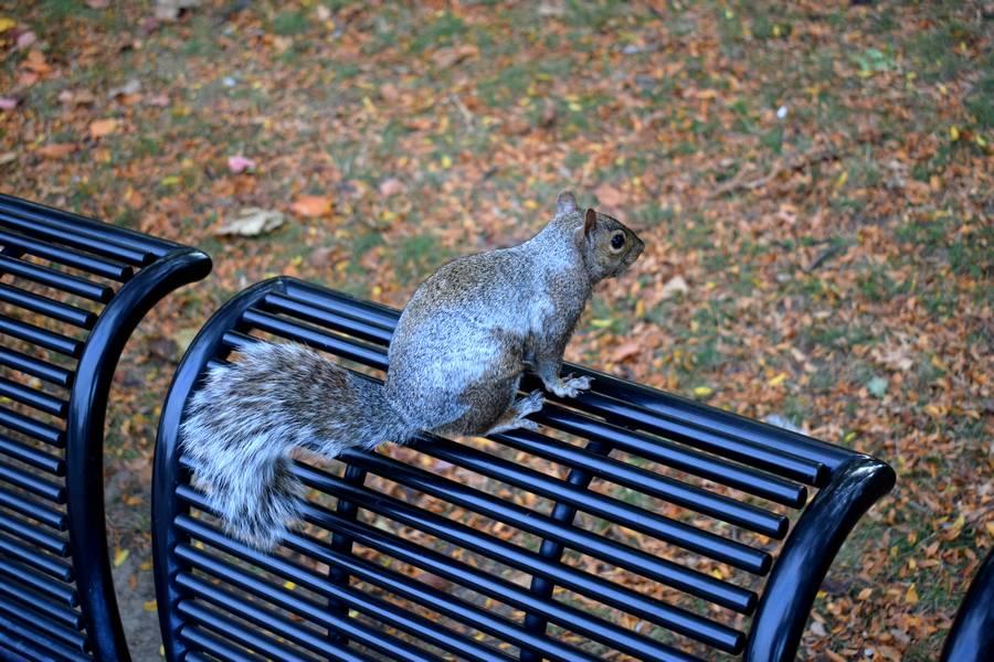 écureuil aux chutes du Niagara