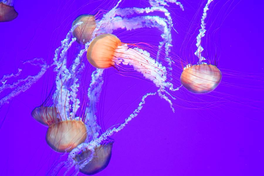 Méduse aquarium de Ripley