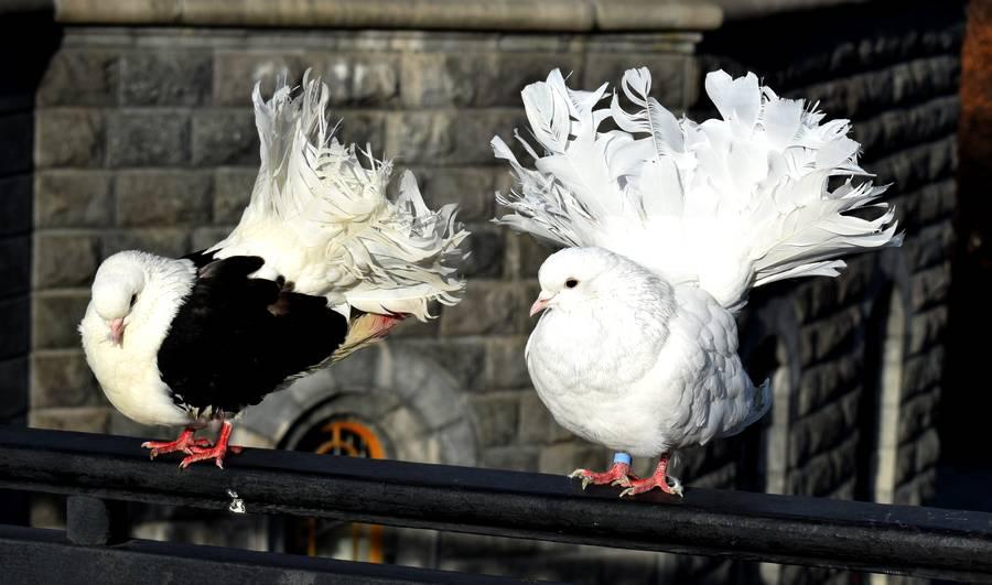 pigeons moscou