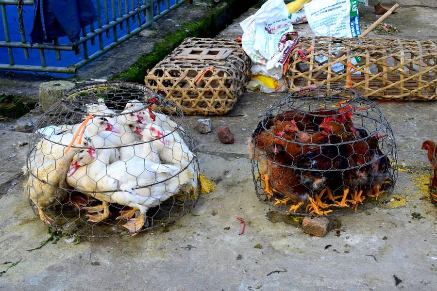 poules enfermées