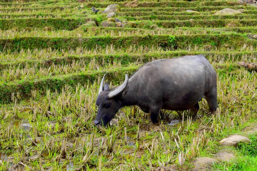 Buffle des rizières au Vietnam