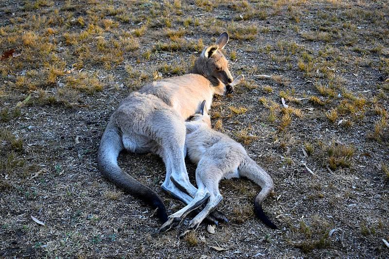allaitement kangourou