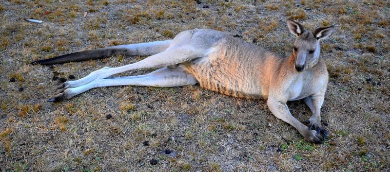 Kangourou allongé