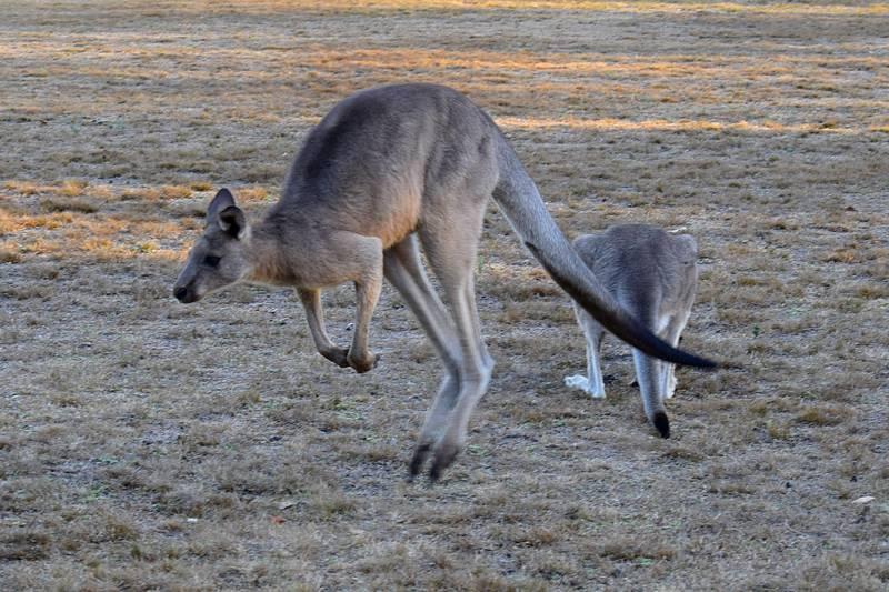 kangourou qui saute