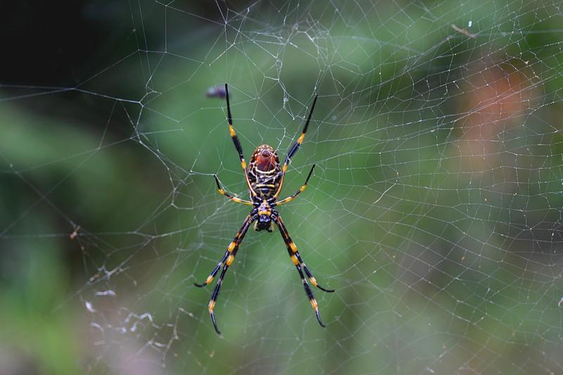 Araignée Sydney