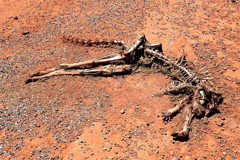 kangourou mort