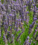 champs de lavande provence