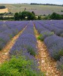 champs lavande provencal