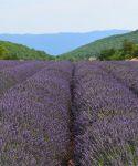champs lavande sault