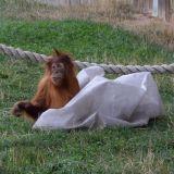 bebe orang-outan zoo