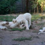 bebes tigres blanc
