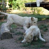 bebes-tigres blancs zoo amneville