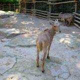 chèvre zoo amnéville