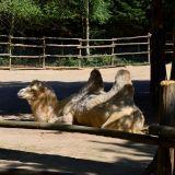 chameau zoo amnéville