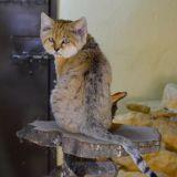 chat du desert zoo amnéville