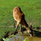 chevreuil zoo amneville