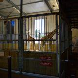 enclos girafe zoo amnéville