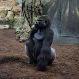 gorille dos gris