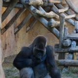 gorilles zoo amnéville