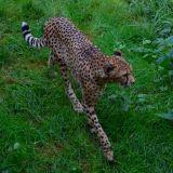 guépard zoo amnéville