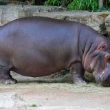 hippopotame zoo amneville