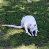 kangourou albinos zoo amnéville