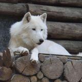 loup zoo amnéville