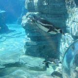 manchots zoo amnévilles