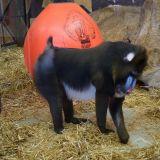 mandrill zoo amnéville