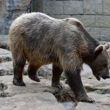 ours brun zoo amnéville