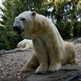 ours polaire zoo amnéville