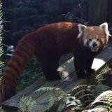 panda roux amnéville