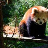 panda roux zoo amnéville