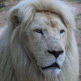 portrait lion blanc zoo amnéville