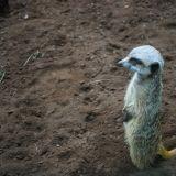 suricate zoo amnéville