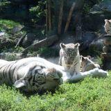tigres blancs zoo amnéville