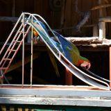 toboggan perroquet