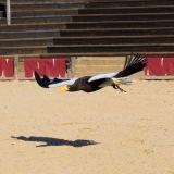 vol grand aigle