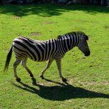 zèbre zoo amnéville
