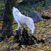 Loup qui hurle